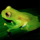 Napo Wildlife Center green Glass frog on a leaf at Yasuni National Park in Ecuador