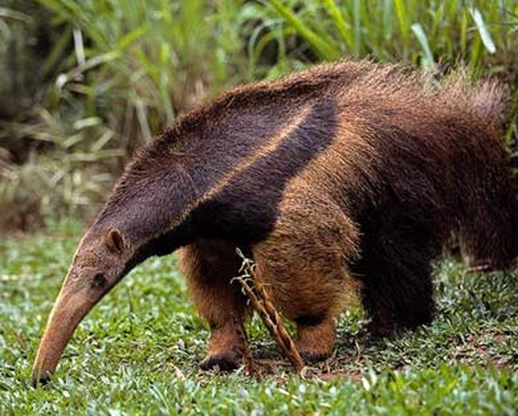 Napo Wildlife Center hormiguero bear anteater looking for food at Yasuni National Park in Ecuador